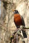 American Robin (MS)