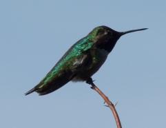 Anna's Hummingbird (RM)
