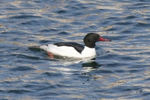 Common Merganser (RW)
