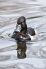 Ring-necked Duck (RW)