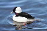 Bufflehead (m) (TC)