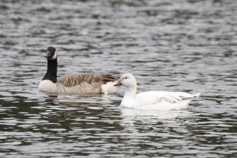 Canada Goose & Snow Goose (TC)