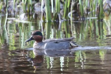 Green-winged Teal (TC)