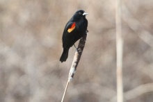 Red-winged Blackbird (male) TC)