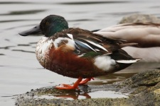 Northern Shoveler (m) (TC)