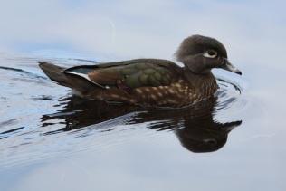 Wood Duck (f) (TC)