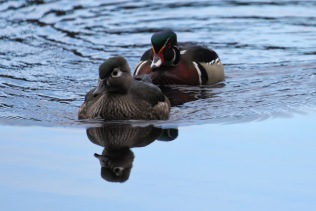 Wood Duck pair (TC)