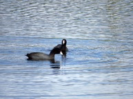 American Coots (BD)