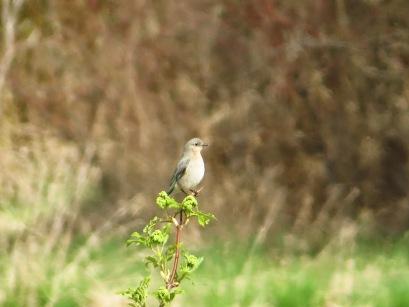 Mountain Bluebird, f. (BD)