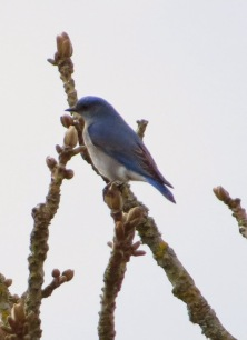 Mountain Bluebird, m. (BD)