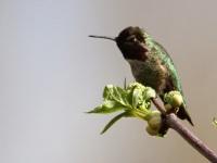 Anna's Hummingbird (JM)