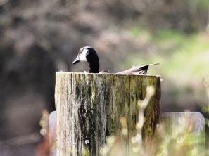Canada Goose, nesting on post (JM)