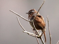 Song Sparrow (JM)