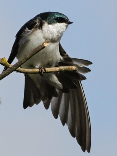 Tree Swallow (JM)