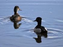 Ring-necked Duck pair (JM)