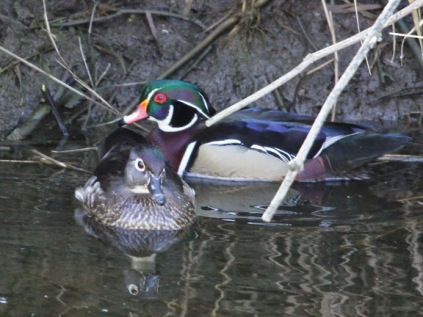 Wood Duck pair (JM)