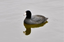 American Coot (KB)