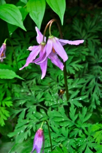 Pink Fawn Lily (KB)