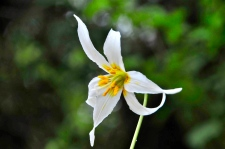 White Fawn Lily (KB)