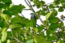 Yellow-rumped warbler - Myrtle (KB)