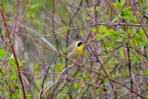 Common Yellowthroat (LS)