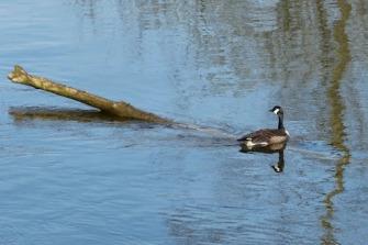 Canada Goose on submerged log (MS)