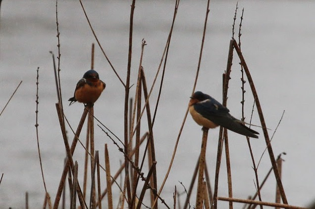 Barn Swallows (TC)