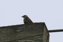 Brown-headed Cowbird (TC)