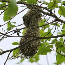 Bushtit nest (TC)