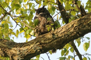 Great-horned Owl (TC)