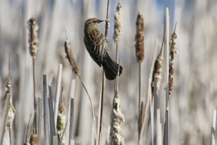 Red-winged Blackbird (f) (TC)
