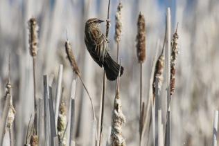 Red-winged Blackbird (f) (TC)