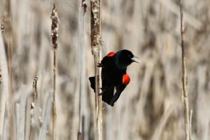Red-winged Blackbird (m) (TC)