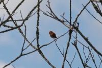 Rufous Hummingbird (TC)