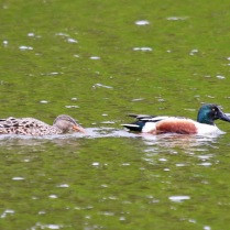 Northern Shovelers (TC)