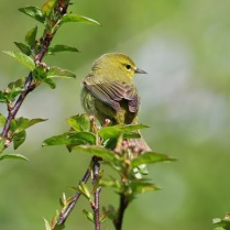 Orange-crowned Warbler (TC)