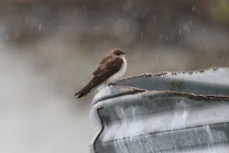 Roughwinged Swallow (TC)