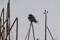 Barn Swallow (TC)