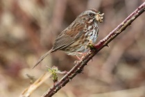 Song Sparrow (TC)