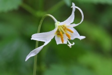 White Fawn Lily (TC)