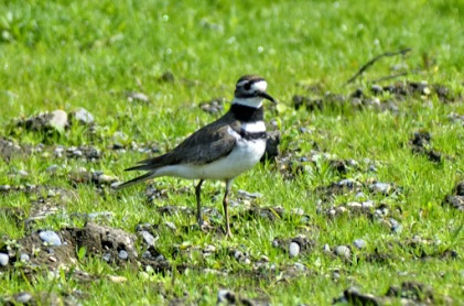 Killdeer (GB)