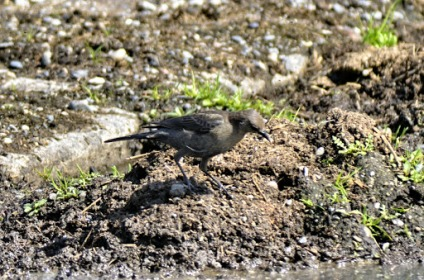 Brown-headed Cowbird (f) (GB)