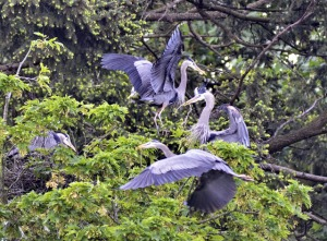 Great Blue Herons nesting (GB)