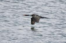 Pelagic Cormorant (GB)