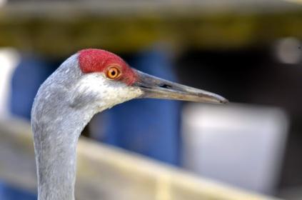 Sandhill Crane (GB)
