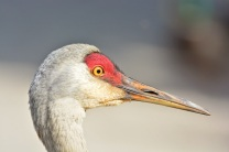 Sandhill Crane (GH)