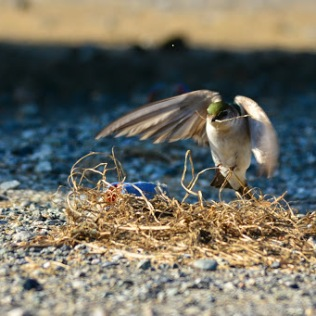 Violet-green Swallow picking up nesting material (GH)