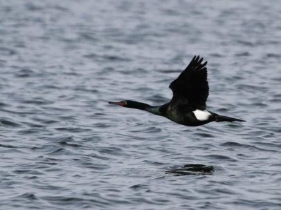 Pelagic Cormorant (JM)