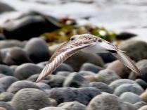 Sanderling (JM)
