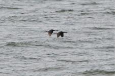 Pelagic Cormorants (KB)